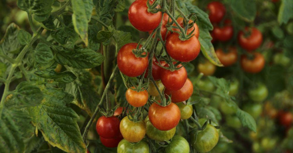 टोमॅटो लागवड - Tomato Cultivation in Marathi